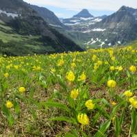 Glacier Lily in front of Glacier Mountains