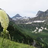 Bear Grass at Glacier Mountains