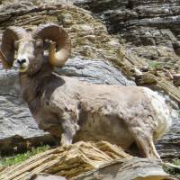 Bighorn Sheep on mountain