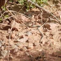 Snake in Capitol Reef, Grand Wash hike