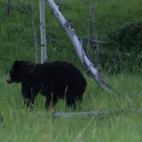 Black Bear near Turner Valley