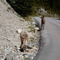 Wildlife on bow valley road from Lake Louise to Banff