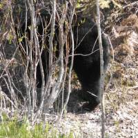 Black bear on bow valley road from Lake Louise to banff
