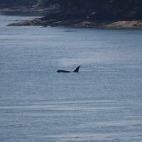killer whales on our way to vancouver