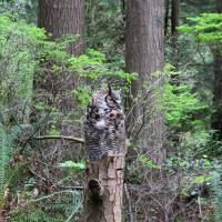 29 april 2017, Vancouver Red horned owl