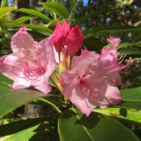 Rhododendrons in Manning Park